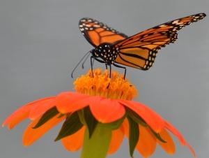 btrfly-monarch-zinnia-1