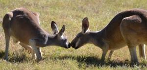 kangaroo-shy-kiss-2
