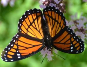 btrfly-monarch-01